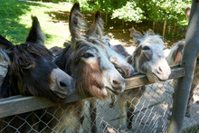 Brown, White And Black Donkeys In The Zoo