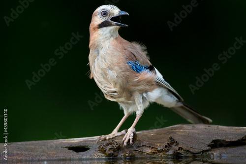 Fotografiet Gaai, Eurasian Jay, Garrulus glandarius