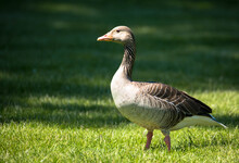 The Wild Greylag Goose Standing On The Green Lawn In A Public Park. The Greylag Goose  Is A Species Of Large Goose In The Waterfowl Family Anatidae.