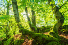 Sunny Forest Of Old Beech Trees Covered By Moss