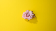 Pink Rose Bud On Yellow Background, Top View