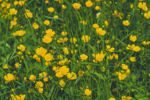 Many Small Yellow Flowers On A Meadow, Out Of Focus, Artfully Abstract, Many Ranunculus Acris Flowers
