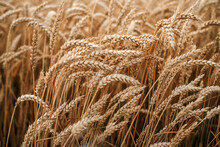 Ripe Wheat Spikes In The Summer Wheat Field, Wheat Harvest In Late Summer, Summer Agricultural Background