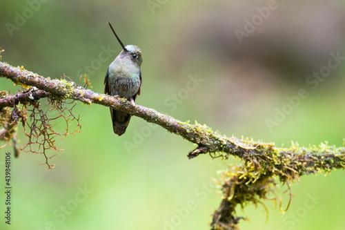 Fototapeta premium Groenvoorhoofdlancetkolibrie, Green-fronted Lancebill, Doryfera ludovicae