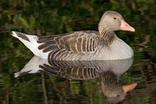 Grauwe Gans, Greylag Goose, Anser Anser