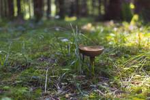 Brown Bay Bolete Mushroom On The Green Grass Woods Ground