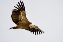 Griffon Vulture, Gyps Fulvus In Monfrague National Park. Extremadura, Spain