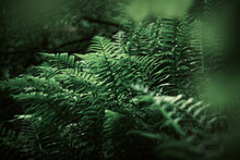 Moody Green Fern Forest Detail With Beautiful Background In France