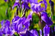 Leinwandbild Motiv purple iris flower