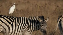 Zebra Looks At Cattle Egret Perching On Its Back And Shakes Its Mane