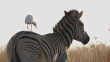 White Cattle Egret Bird Standing On Zebra In Golden Hour Wilderness