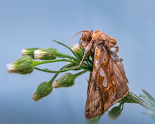 Macro Of Autographa Excelsa Moth On Flower Buds