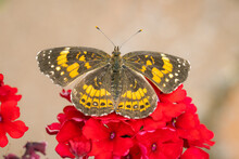 Silvery Checkerspot Butterfly Perched On Some Red Flowers