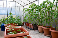 Blooming Tomatoes, Planted In Large Pots, In A Glass Greenhouse