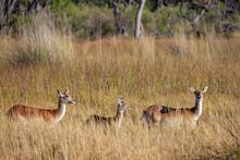 Red Lechwe Antelope - Okavango Delta - Botswana