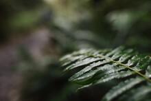 Wet Fern In Woods.