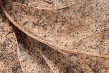 Decaying Dogwood Leaf, Close Up