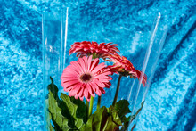 Bunch Of Pink Gerbera Daisies Wrapped In Plastic