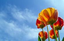 Tulips Against Blue Sky