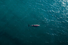 Aerial View Of A Bottlenose Dolphin In The Ocean In Florida