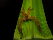 Cupiennius Salei, Commonly Called The Tiger Wandering Spider