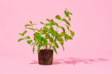 Exposed Mint Plant