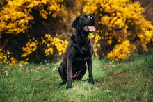 Black Dog Sitting On Grassy Meadow Near Bushes