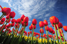 Red Tulip With Blue Sky