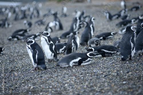penguin colony Fototapet