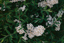 White Flowers On A Background Of Green Leaves. Pyracantha Crenulata, Ornamental Shrub.