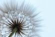 Leinwandbild Motiv Beautiful fluffy dandelion flower on light background, closeup