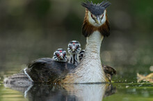Selected Focus Shot Of Great Crested Grebe Birds Family In Lake