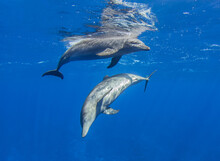 Dolphins At The Surface