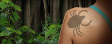 Tick Insect And Parasite Danger In The Forest As A Scary Illness Carrier Bug Mite As A Risk For Lyme Diseas