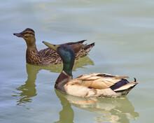 Pair Of Mallard Ducks Swimming In A Lake