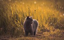 Closeup Shot Of A Gray Fluffy Cat Walking In A Field