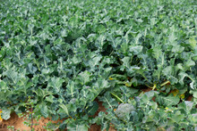 Field Of Ripe Organically Grown Broccoli On A Sunny Spring Day. Growing Organic Vegetables