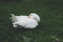 Closeup Shot Of A White Duck Resting On A Green Grass