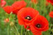 Leinwandbild Motiv Beautiful poppy flowers in field, closeup