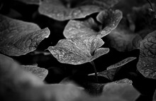Black And White Leaves Texture Background