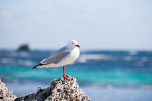 One Legged Seagull Standing On A Rock