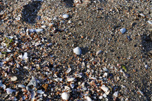 Close Up Picture Of Coarse Sand Of Crushed Mussels And Pebbles, A White Mussel Shell.