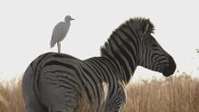 Zebra Startles Perching Cattle Egret When It Starts Walking In Sunset Savanna