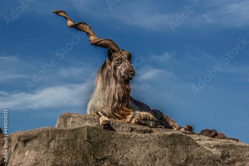Tablou Canvas Markhor male on the rock. Latin name - Capra falconeri