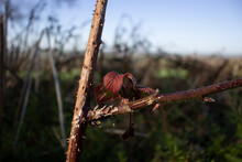 New Shoot On A Bramble Bush With Thorns And A Blue Sky