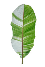 Spotted Banana Leaves On White Background. This Has Clipping Path.