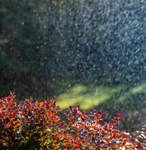 Bright Summer Background. Raindrops Fall On The Red Leaves Of Barberry.