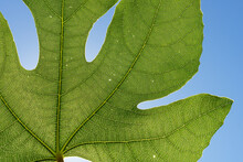 Green Veins Of A Fig Leaf In The Mediterranean Sunlight Close-up