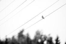 Whinchat (Saxicola Rubetra) On Aerials