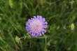 kwiat, ostrość, kwiatek polny , łąka. fioletowy kwiat, pręciki, zielone tło, wiosna, lato, kwiaty przy drodze, widok z góry, struktura kwiatu, karbowane płatki , rośliny, przyroda,